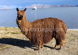 alpaga Pérou