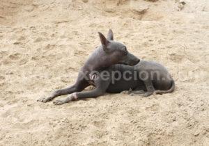 chien-nu Pérou