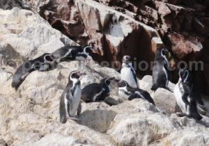 manchots de Humbolt Pérou