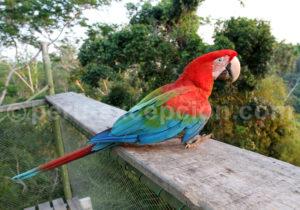 Perroquet Pérou