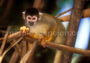 singe Pérou
