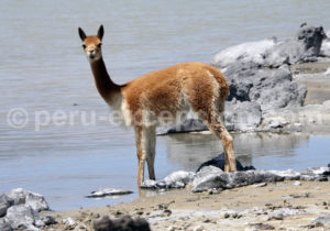 vigogne Pérou