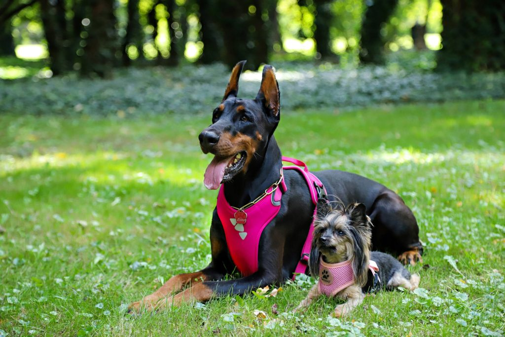 A chaque taille de chien un harnais adapté