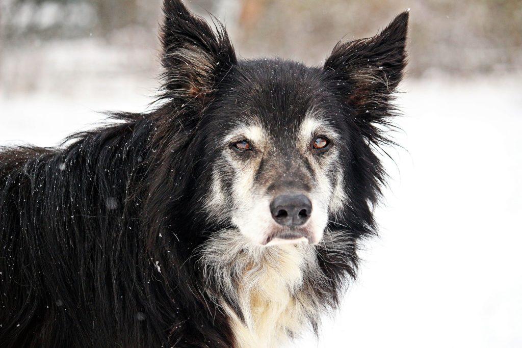 Adapter les promenades du chien arthrosique