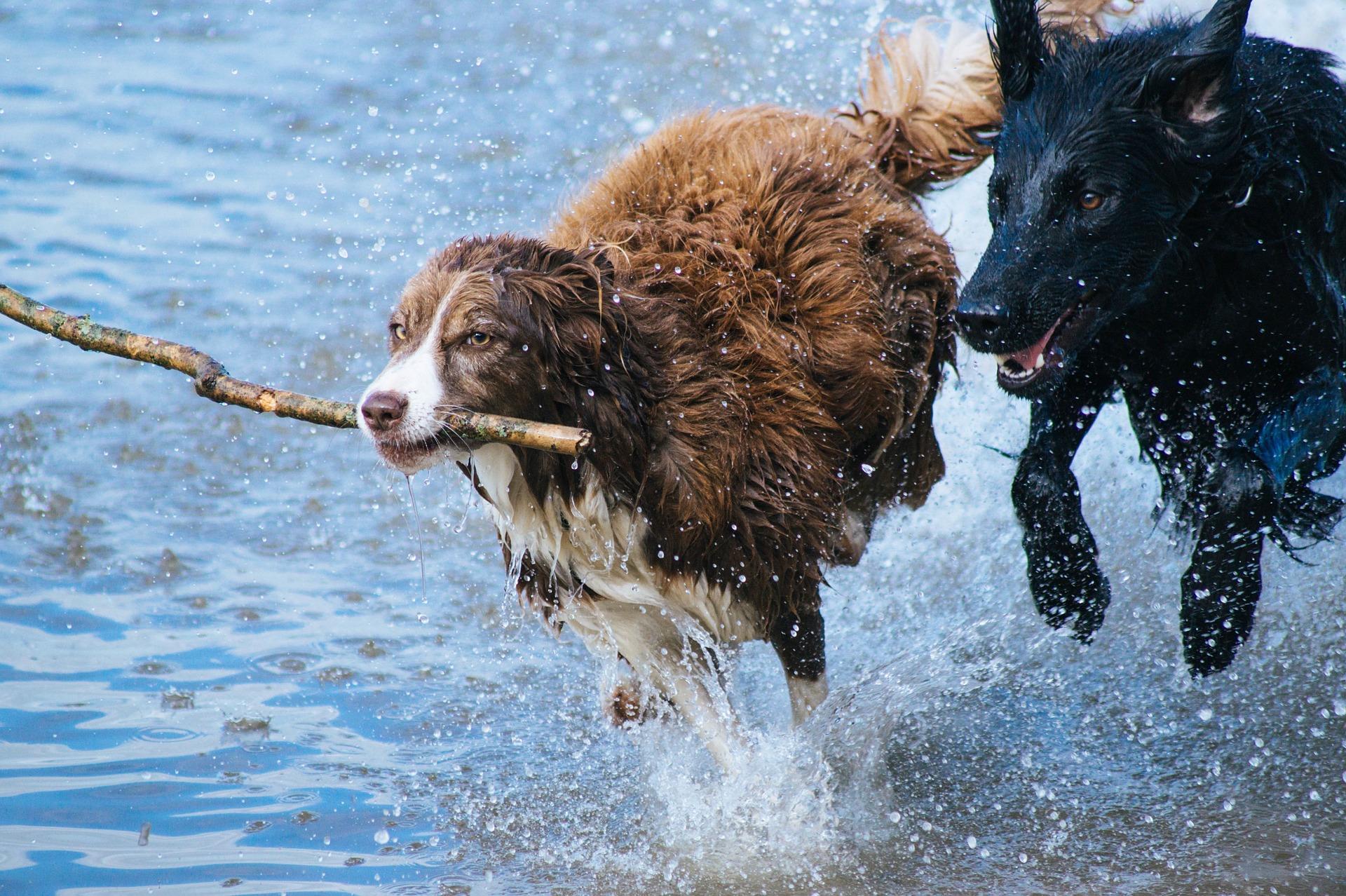 Fortes chaleurs : attention aux cyanobactéries pour nos chiens