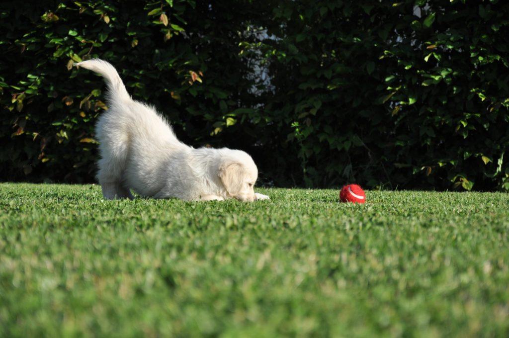 Un chien qui remue la queue est-il toujours content