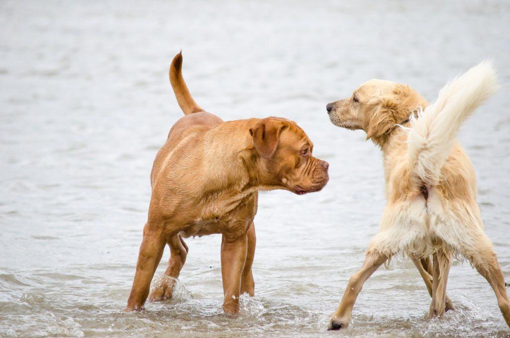 Battement queue du chien nerveux