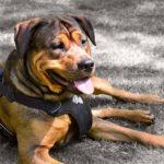 Bien choisir le harnais de son chien : 10 étapes