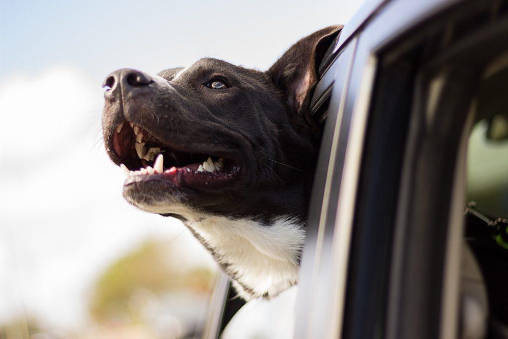 Calmer naturellement le mal des transports du chien