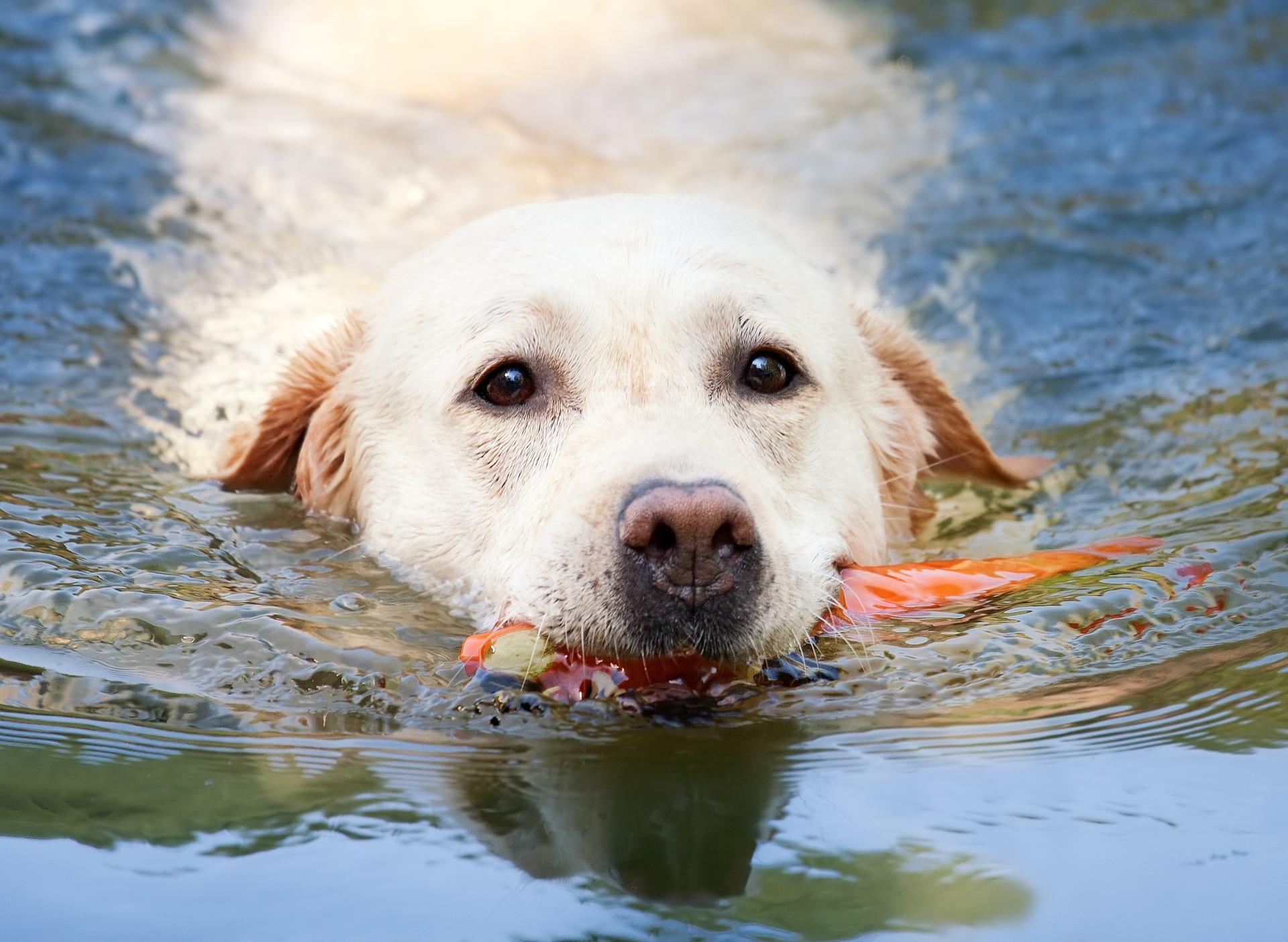 Certaines races de chiens savent nager