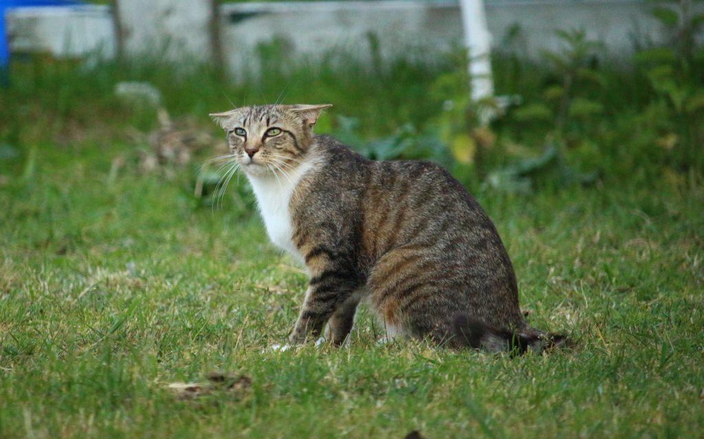 Un chat aux oreilles couchées n'est pas rassuré
