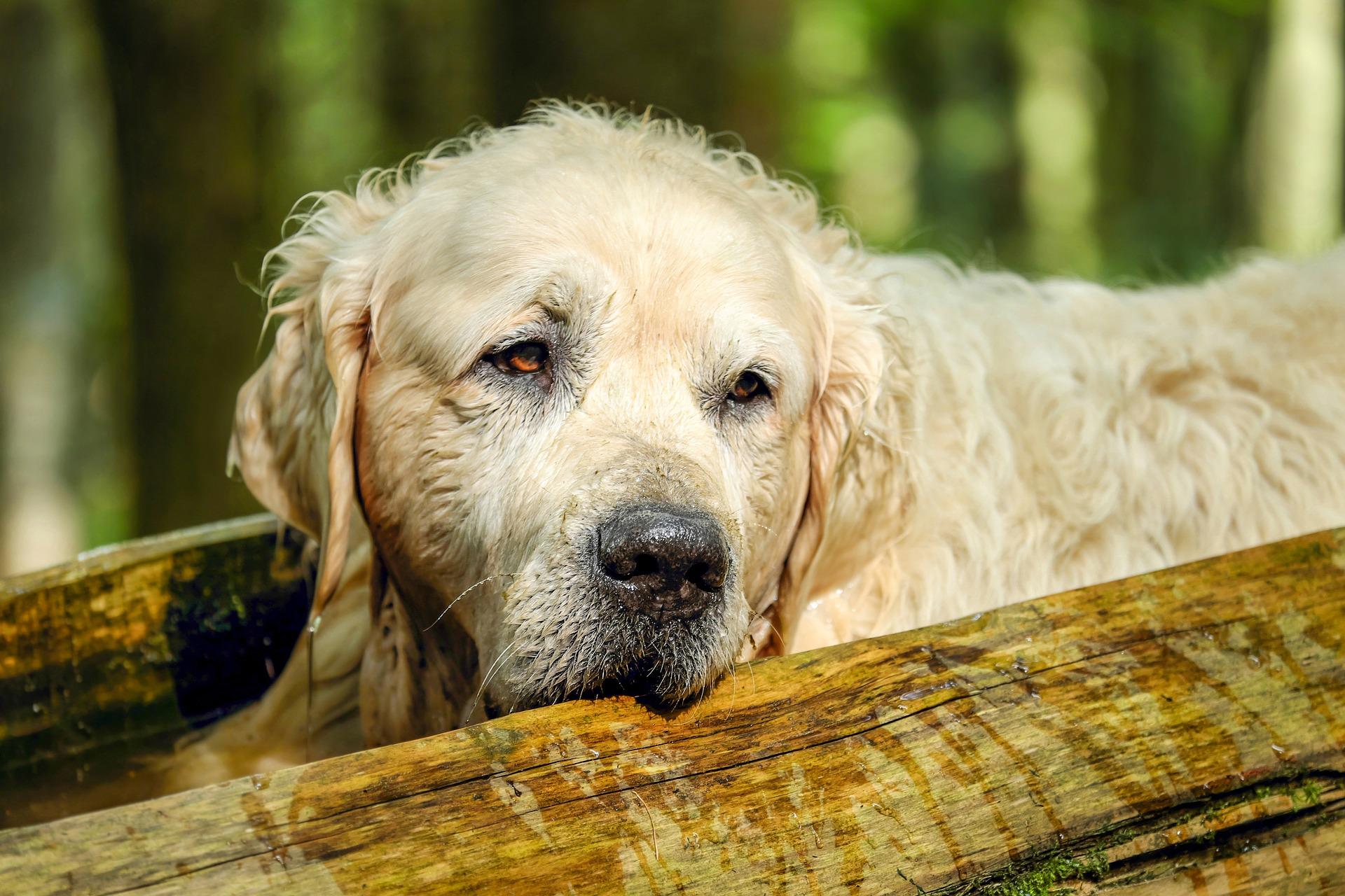Un chien arthrosique doit maintenir une activité physique