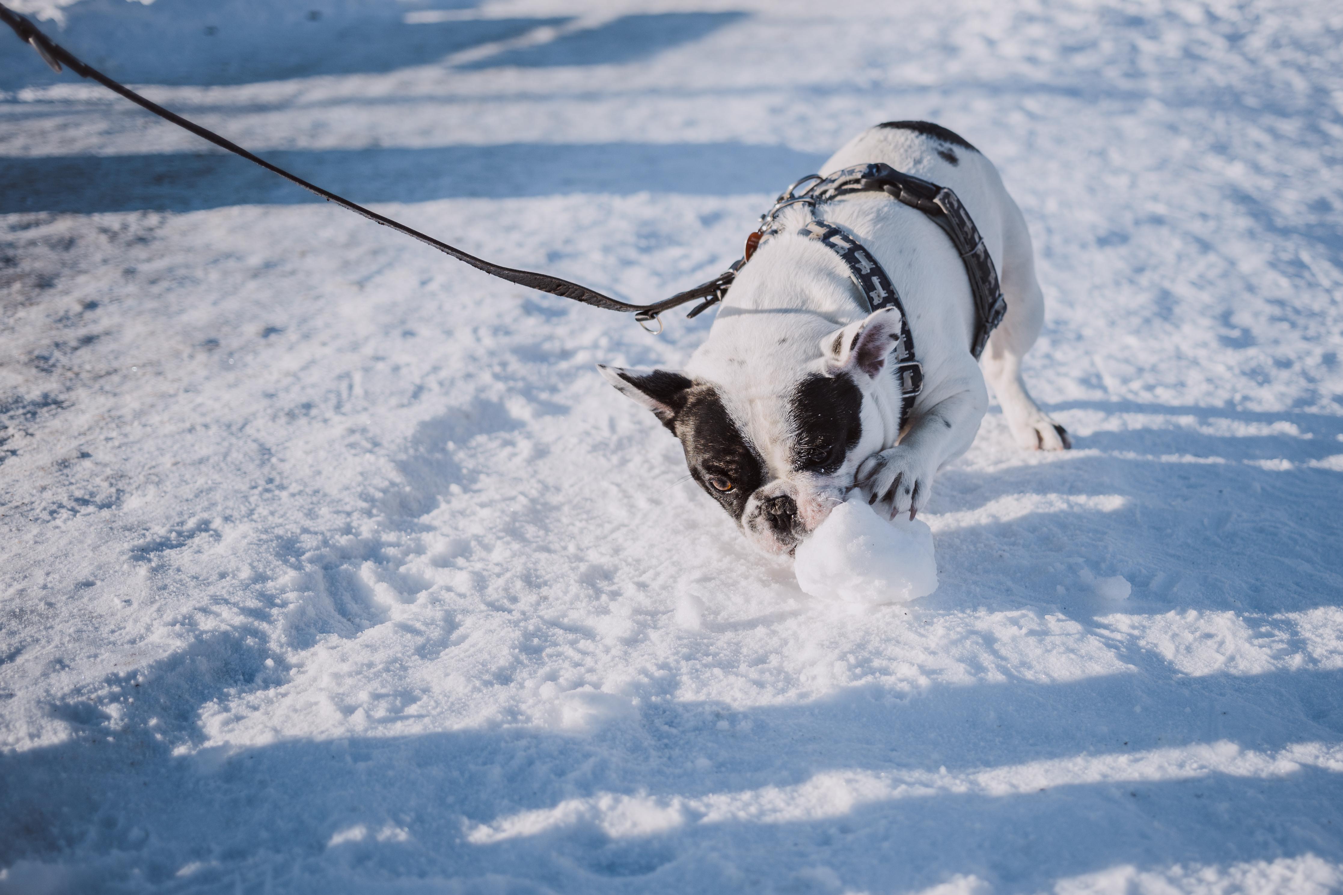chien jouant dans la neige avec harnais de promenade