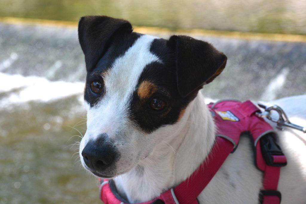 Morphologie du chien, un critère primordial dans le choix du sac de bât