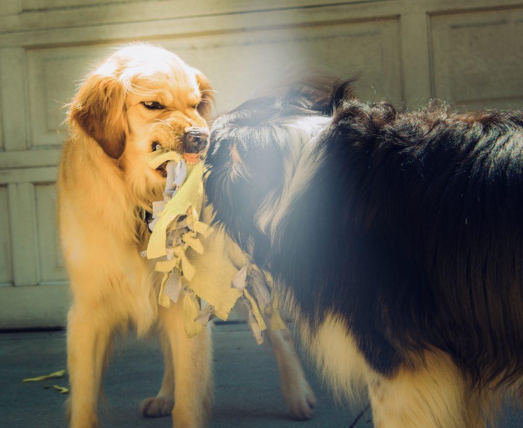 La hiérarchie entre chiens est fluctuante