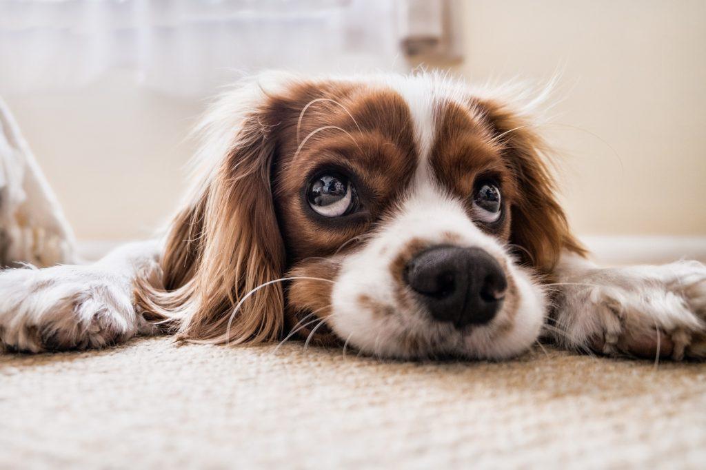 Élixirs : remèdes naturels pour chien