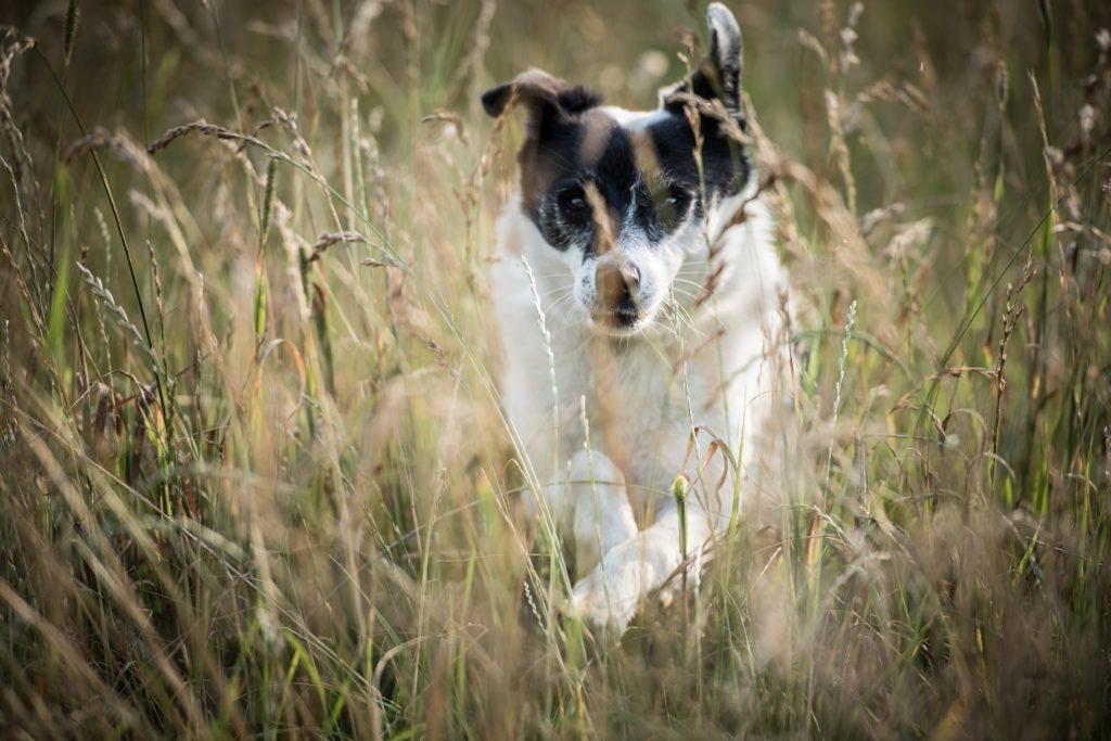 Éviter les hautes herbes pour prévenir son chien des épillets