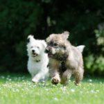 Gérer les séquences de jeux entre chiens