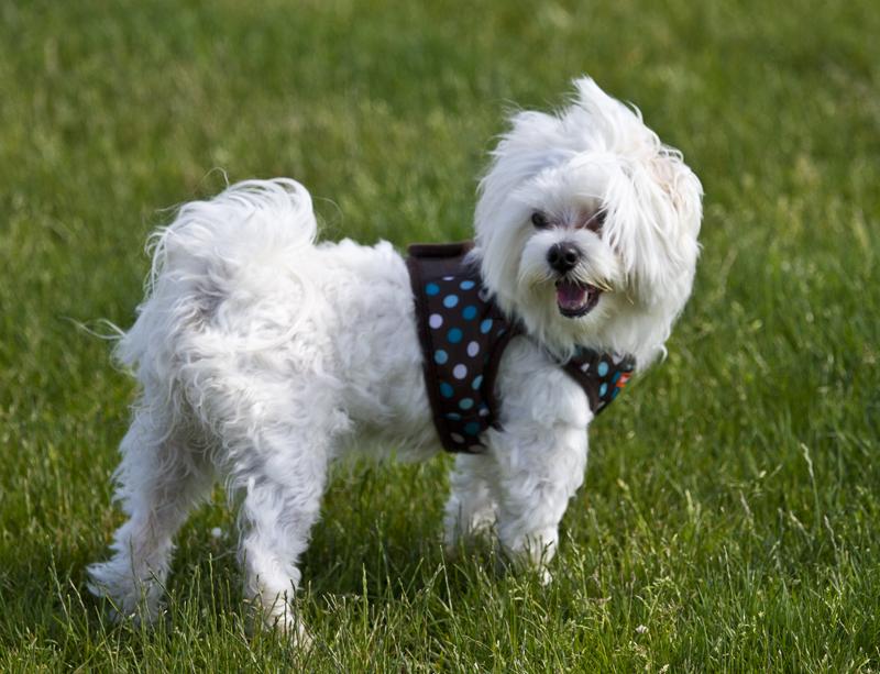 Harnais de promenade pour chien
