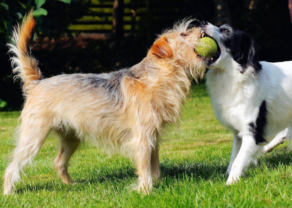Les interactions entre chiens sont primordiales pour le bien-être d'un chien