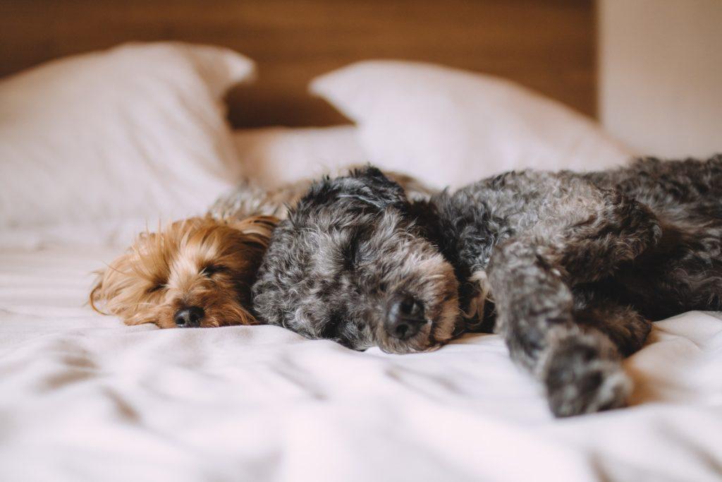Le Mythe de la dominance de l'humain sur le chien