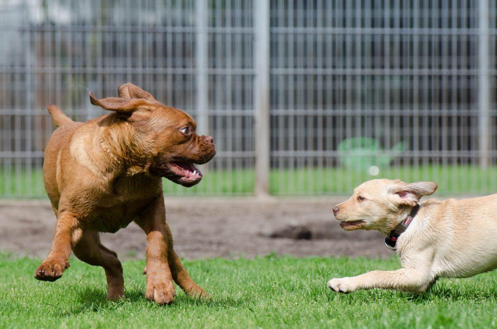 Observer les codes canins pour comprendre le jeu entre chiens