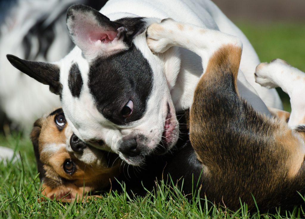 Connaître les phases de prédation permet d'observer attentivement le jeu entre congénères canins