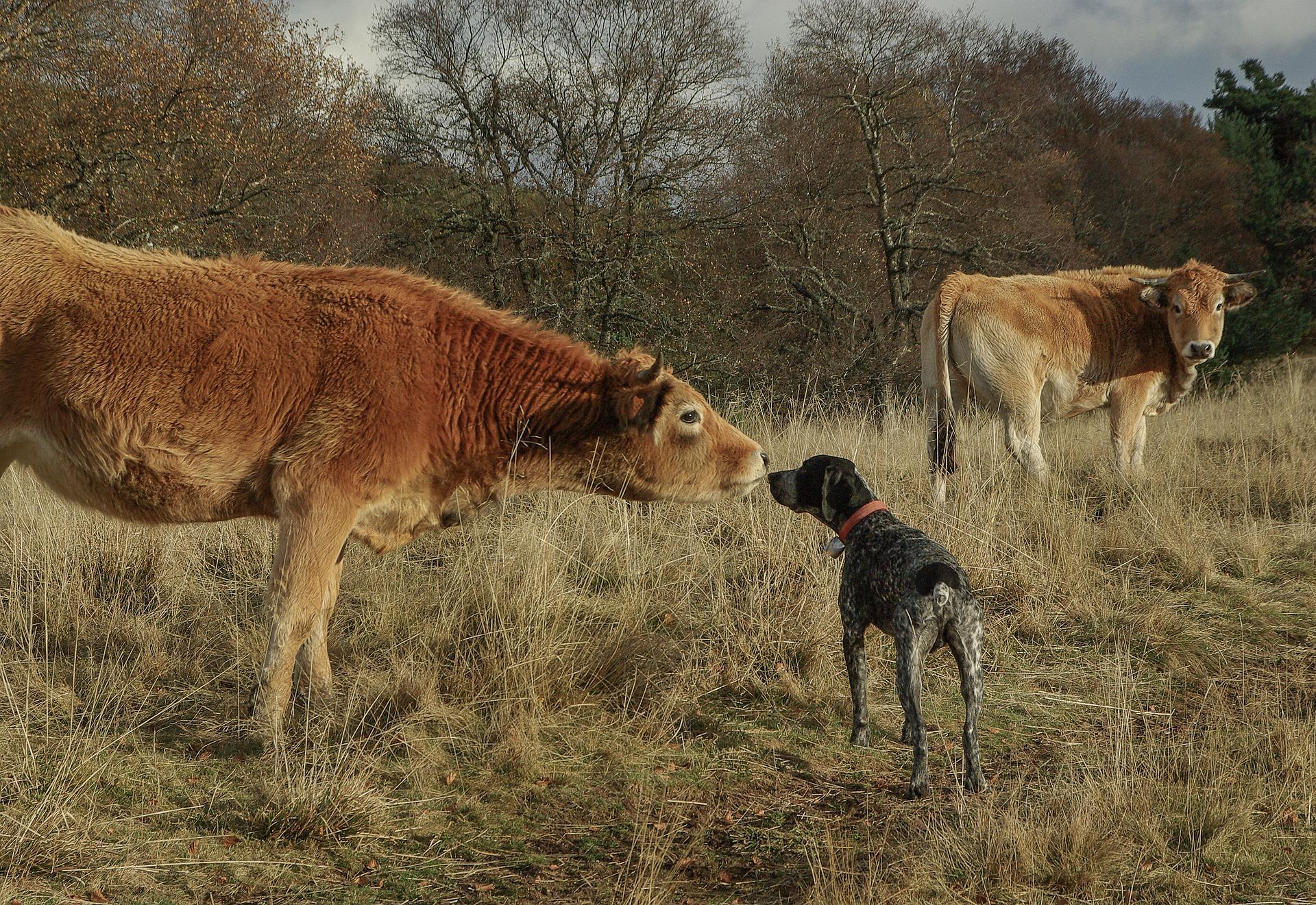 Faire rencontrer des animaux de troupeau à son chien
