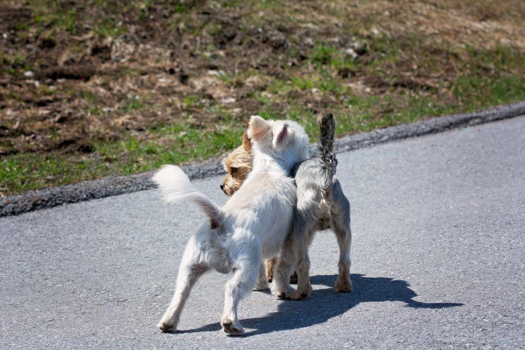 Les rencontres en liberté se passent mieux entre chiens