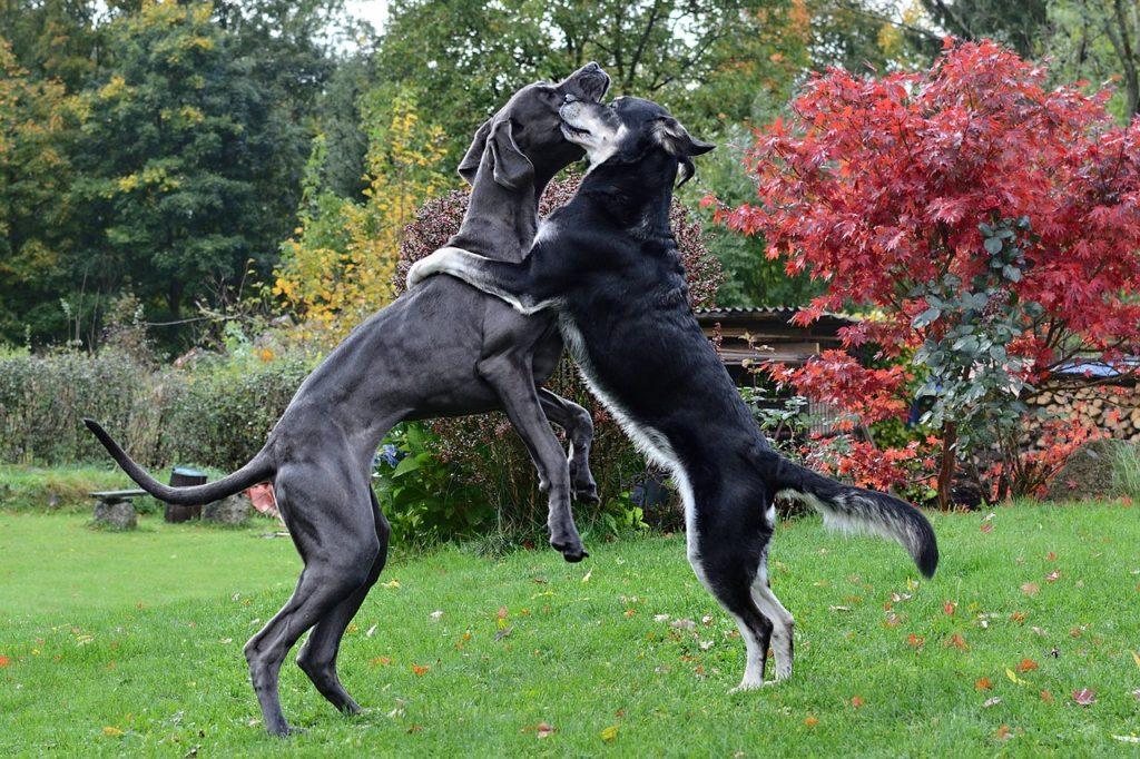 Un chien réactif pourrait porter la muselière pour rencontrer ses congénères