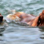 Tous les chiens savent nager : idée reçue n°1