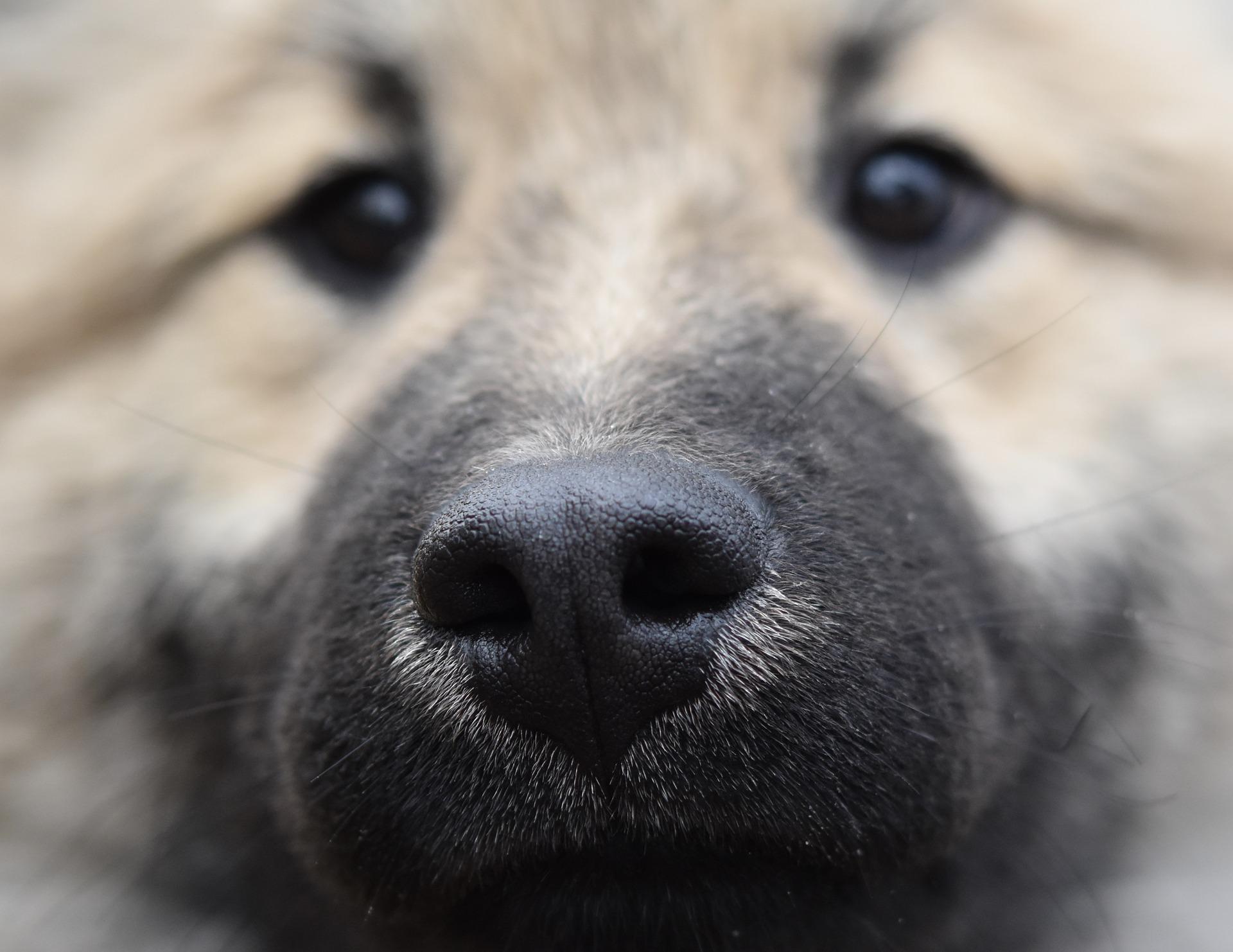 Signes inquiétants sur la truffe d'un chien