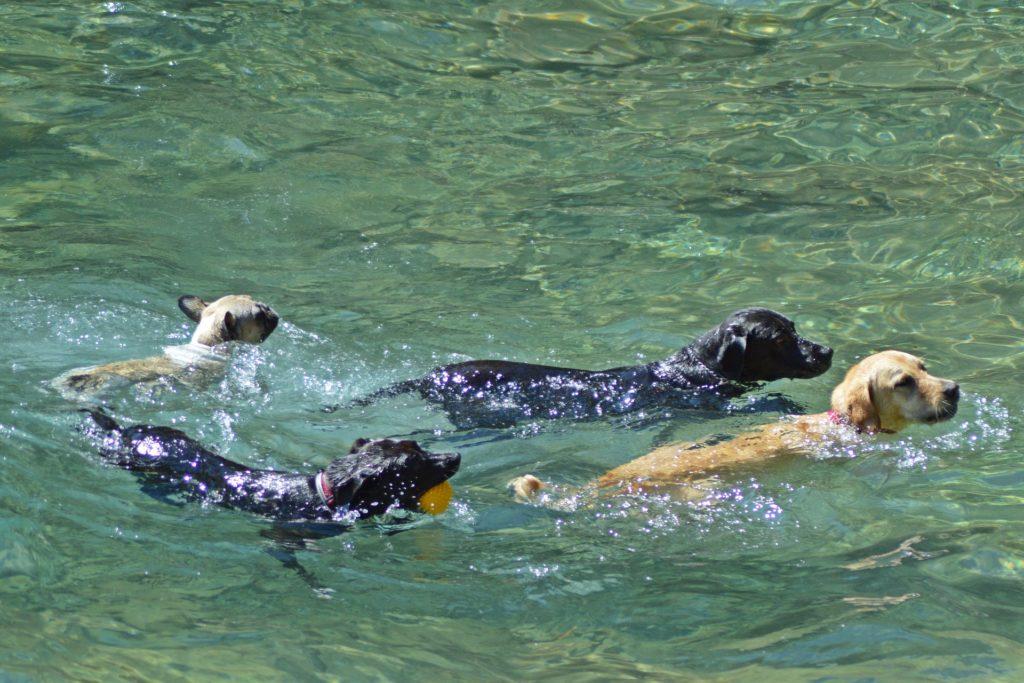 Améliorer la condition physique de nos chiens avec la nage