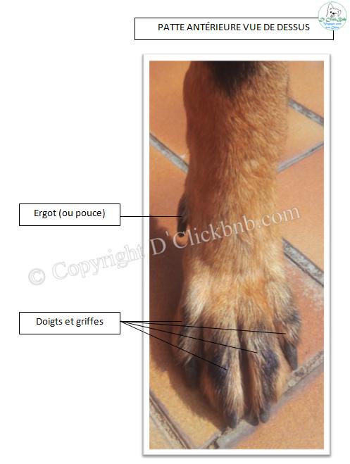 Antérieure gauche chien