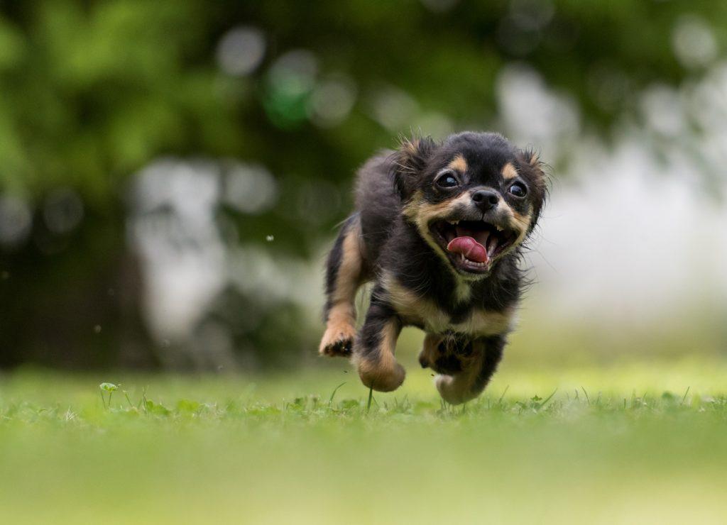 Petit chien qui court vers son gardien