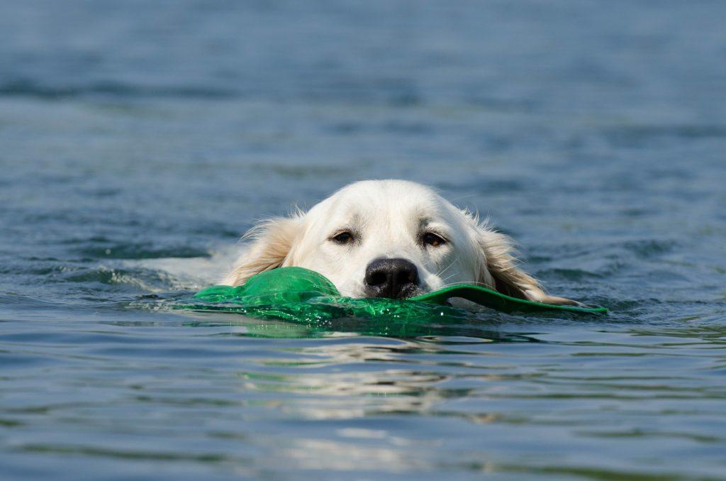 Bienfaits de la natation pour un chien