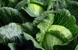Certains légumes crus sont toxiques pour le chien