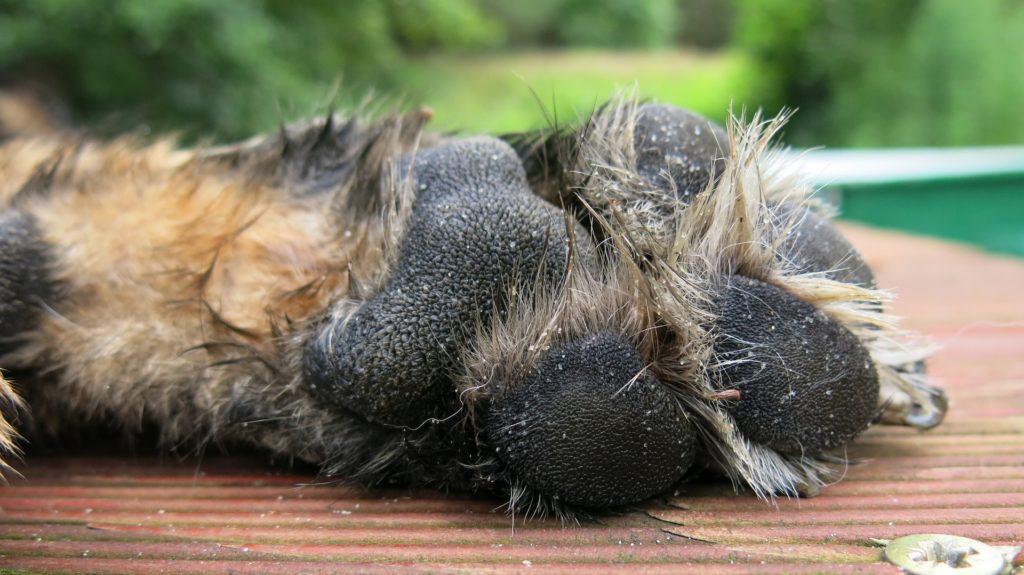Des coussinets en santé sont primordiaux pour le bien-être de nos chiens