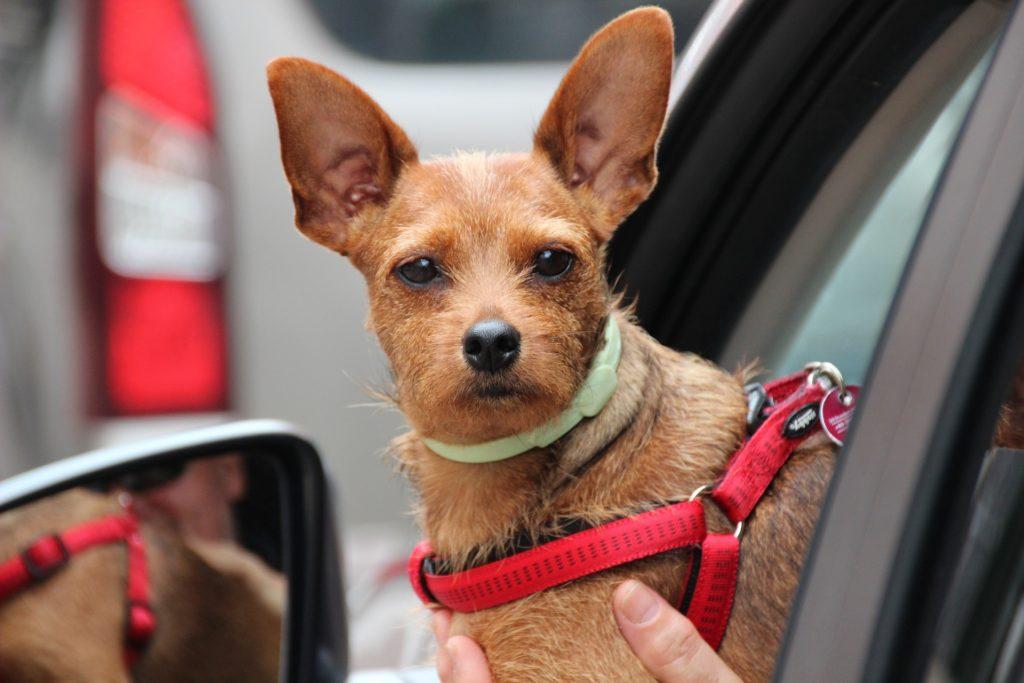 Bien choisir la place du chien lors des voyages dans un véhicule