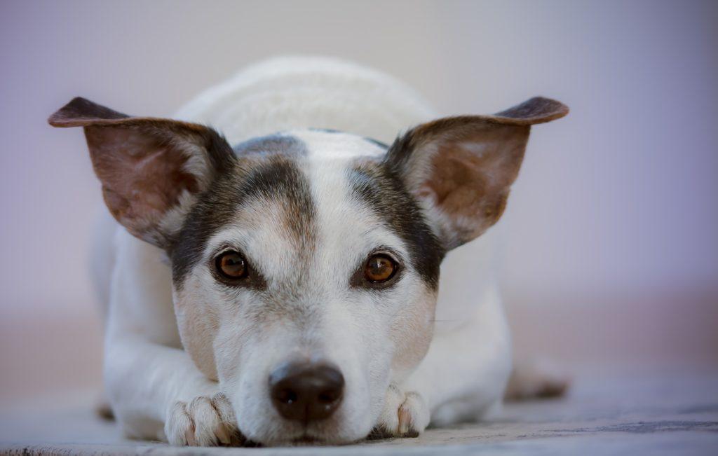 température et rythme cardiaque sont d'excellents indicateurs de la santé du chien