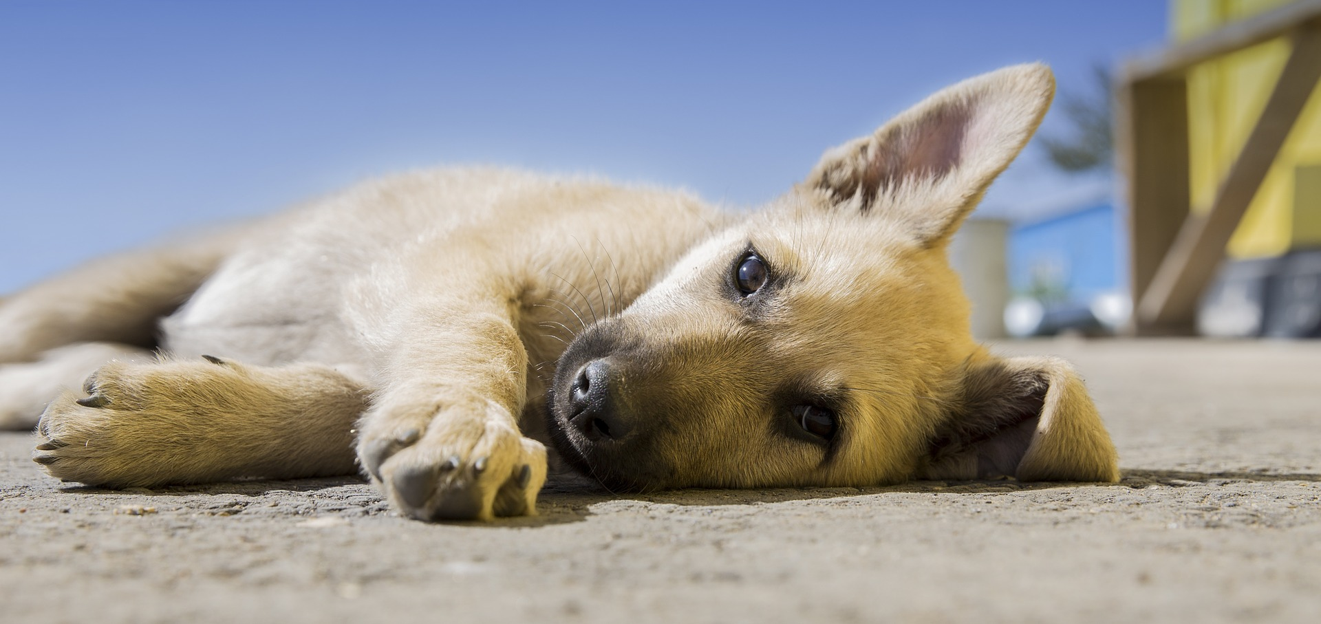 Gestes de premiers secours canins