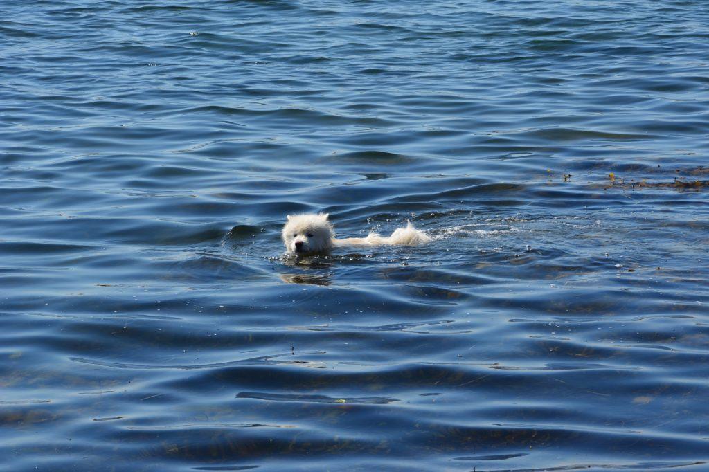 Petit chien qui nage