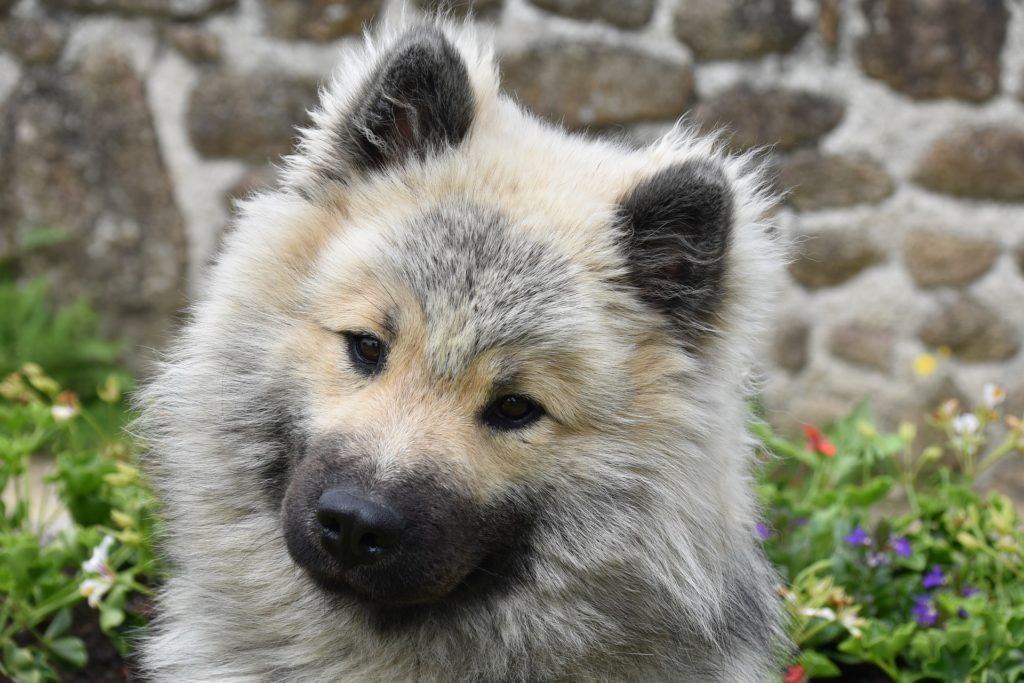 Port de la muselière : comment habituer son chien