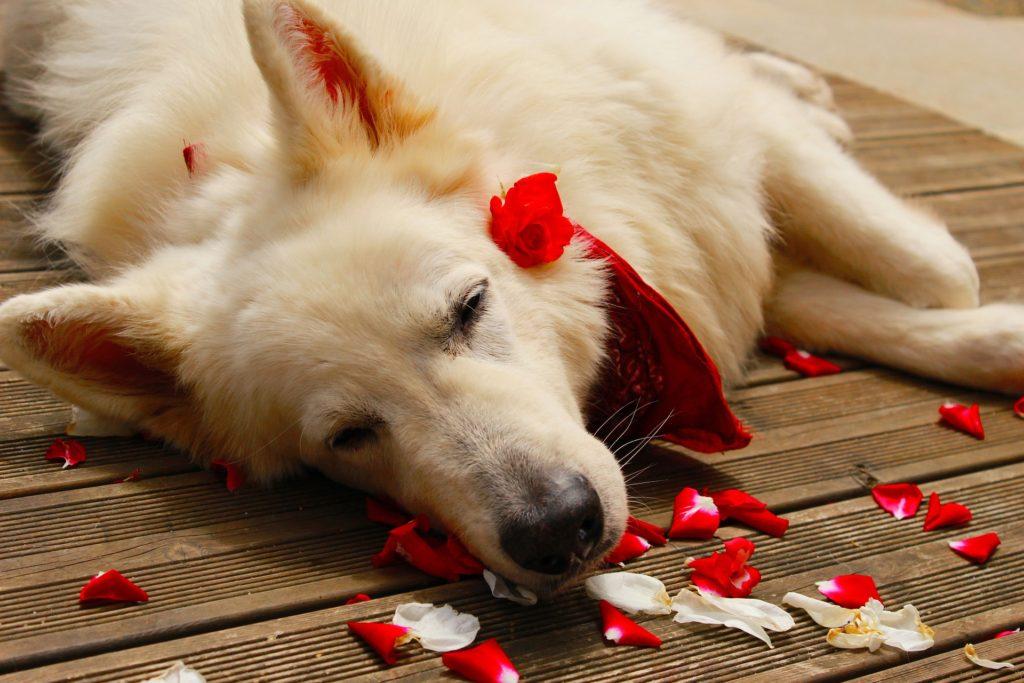 L'homéopathie et la phytothérapie, remèdes bien-être pour nos vieux chiens