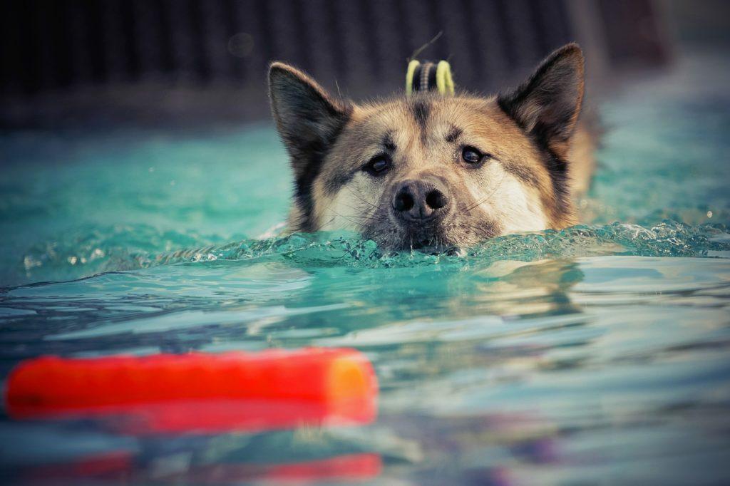Hydrothérapie pour chien âgé ou handicapé