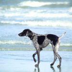 Leishmaniose : risque lié aux moustiques chez le chien