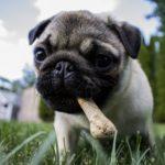 Nourrir son chien au BARF, l'alimentation crue