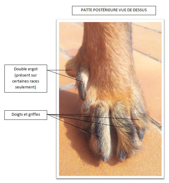 Postérieure gauche chien