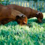 Comment remédier à la coprophagie chez le chien
