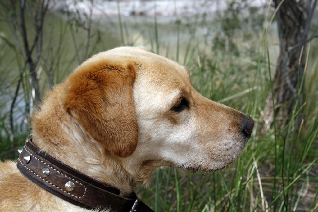 chien senior et stades de vie